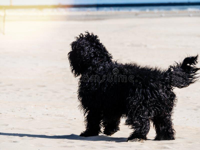 Schwarzer Cocker Spaniel-Hund, der Spaß am Sand hat stockfoto