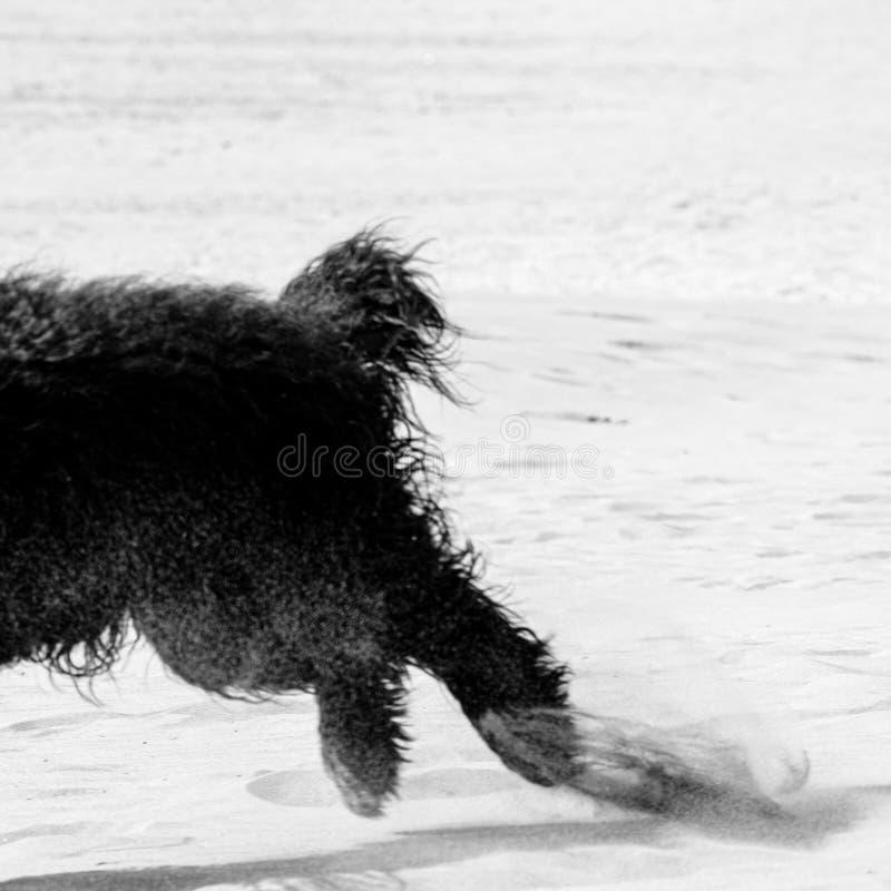 Schwarzer Cocker Spaniel-Hund, der Spaß am Sand hat lizenzfreie stockfotografie