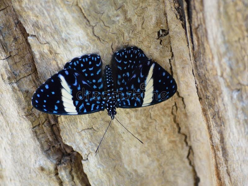 Schwarzer Cracker-Schmetterling weibliches Nymphalidae Hamadryas-laodamia lizenzfreie stockbilder