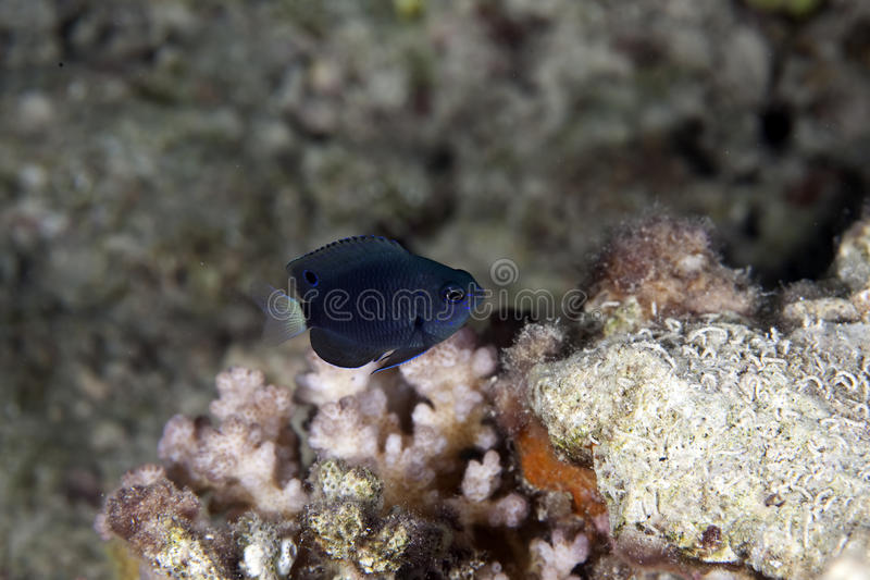 Schwarzer Damselfish stockfotos