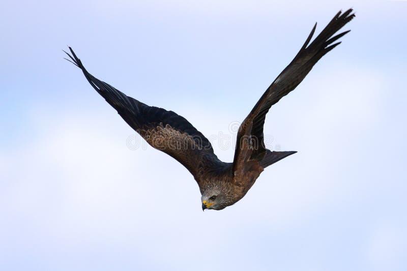 Schwarzer Drachen Im Flug Stockfotografie