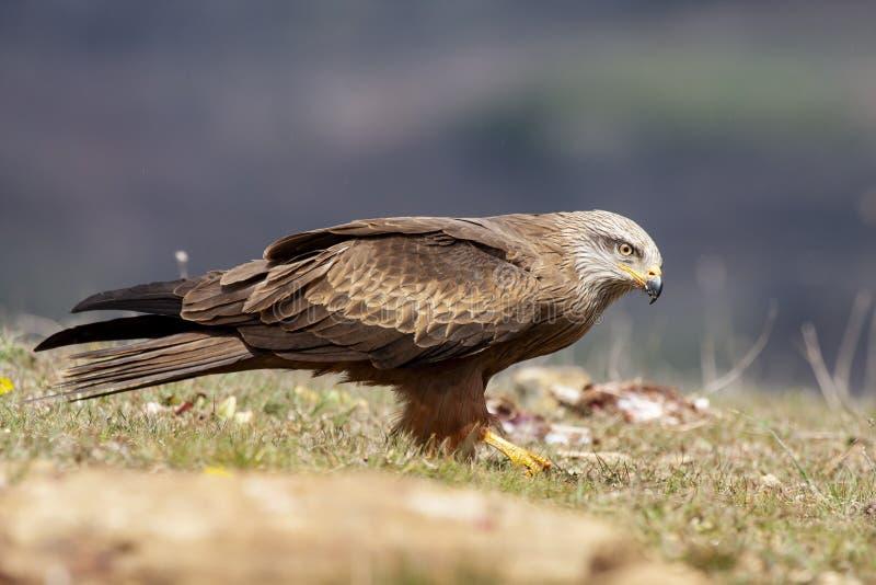 Schwarzer Drachen, Milvus migrans, Fütterung auf dem Aasenboden Spanien lizenzfreie stockfotos