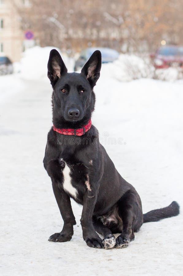 Schwarzer einäugiger Hund sitzt auf dem Schnee lizenzfreie stockfotos