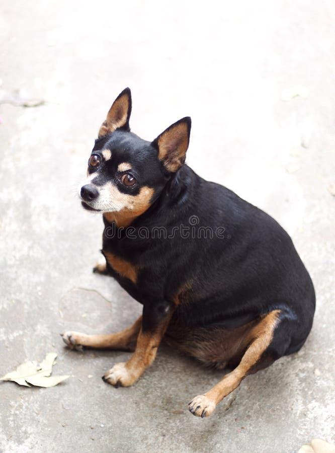 Schwarzer fetter reizender Miniatur-pincher Hund lizenzfreies stockfoto