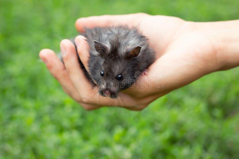 Schwarzer flaumiger Hamster in der Hand, lizenzfreies stockfoto