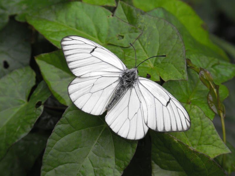 Schwarzer geäderter weißer Schmetterling lizenzfreie stockfotos