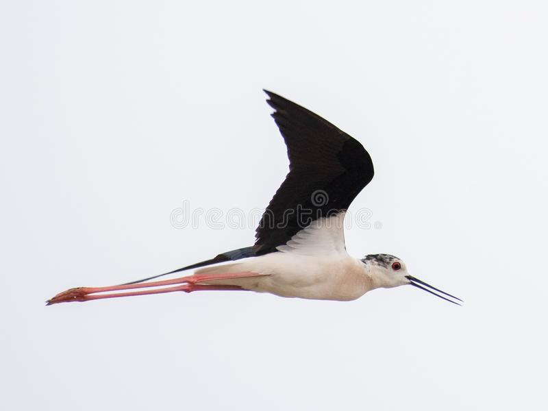 Schwarzer geflügelter lang- Fuß jagen Himantopus Himantopus stockfotos