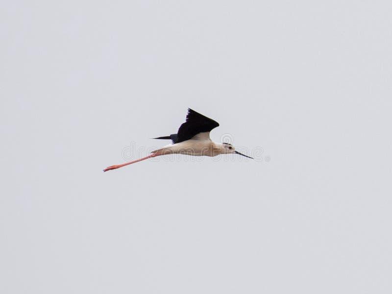 Schwarzer geflügelter lang- Fuß jagen Himantopus Himantopus lizenzfreies stockbild