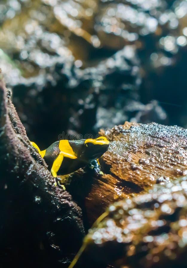 Schwarzer gelber gestreifter Giftpfeil-Bienenfrosch in der Makronahaufnahme ein sehr gefährliches amphibisch Tier von Amerika stockbild