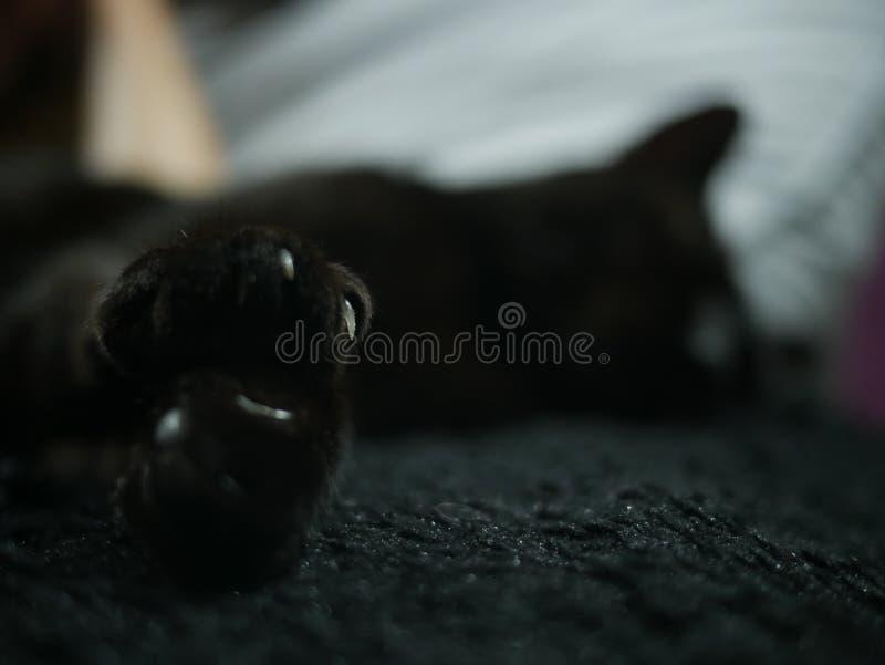 Schwarzer Greifer der Katze stockfotografie