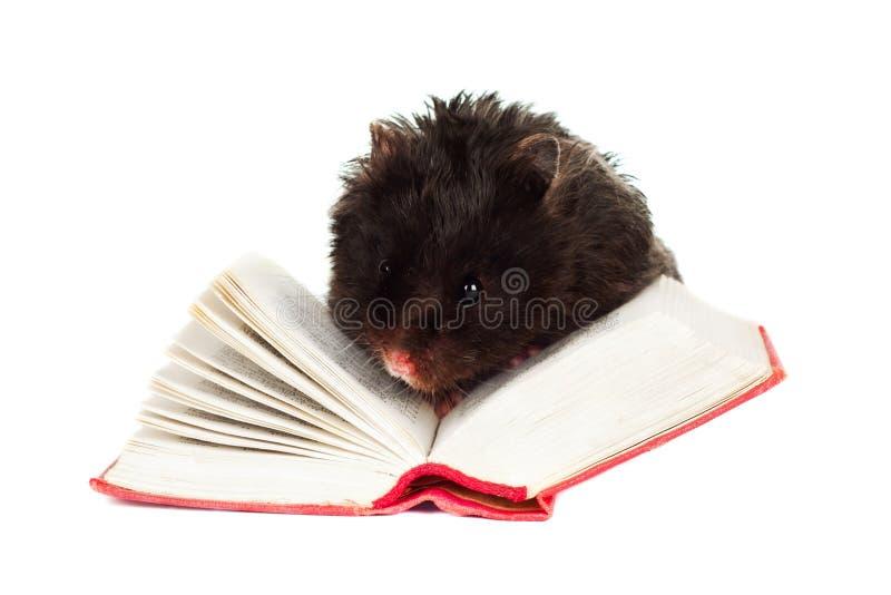 Schwarzer Hamster, der ein Buch liest lizenzfreie stockbilder