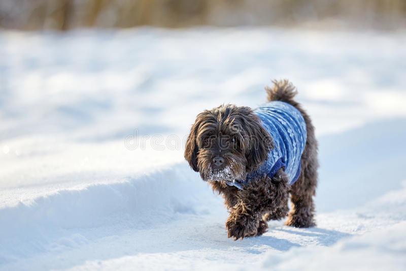 Schwarzer havanese Hund, der in den Schnee geht stockfotos