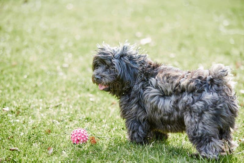 Schwarzer havanese Hund, der im grünen Gras steht lizenzfreie stockfotos