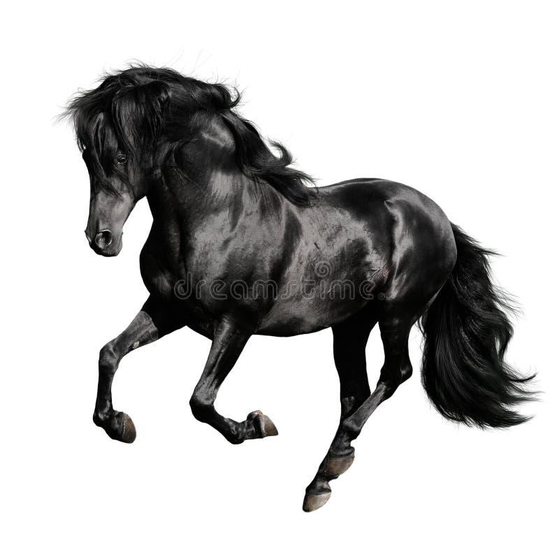 Schwarzer horseruns Galopp getrennt auf Weiß stockfotos