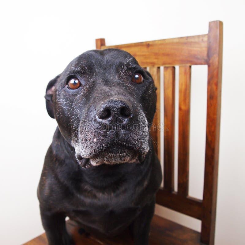 Schwarzer Hund stockfotos