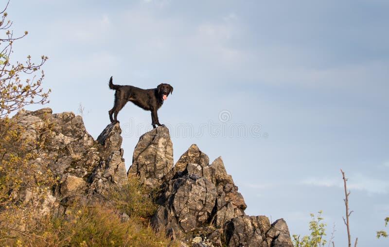 Schwarzer Hund Amy des schönen Köters auf Gebirgsfelsen stockfoto