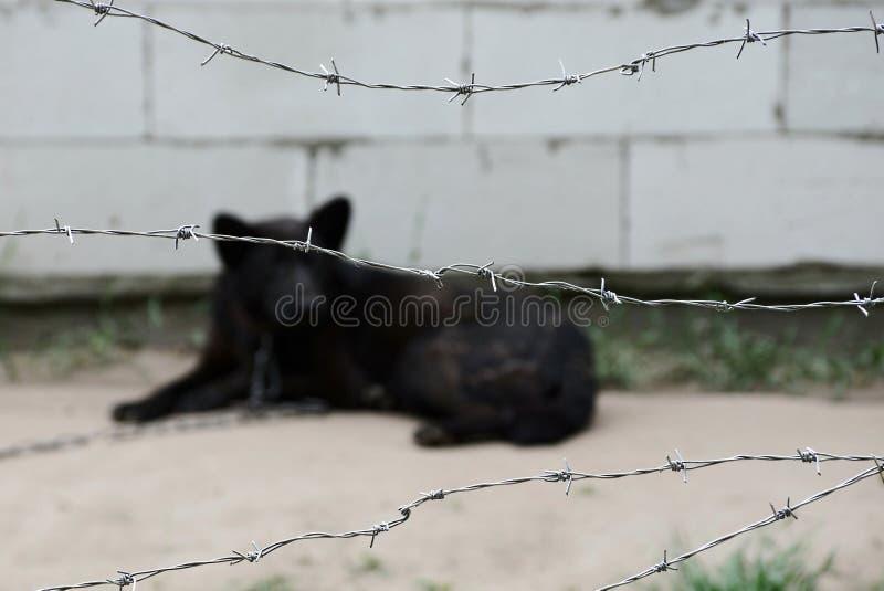 Schwarzer Hund auf einer Kette hinter einem Stacheldraht stockfoto