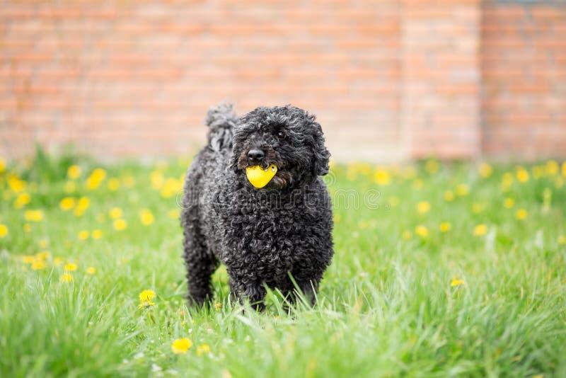 Schwarzer Hund, der im Frühjahr Garten spielt lizenzfreies stockbild