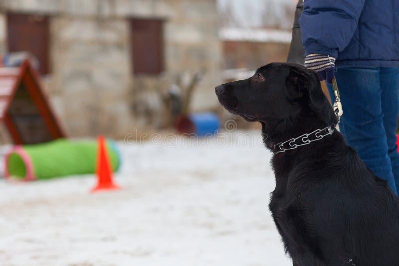 Schwarzer Hund führt ergeben Wintertraining durch lizenzfreie stockbilder