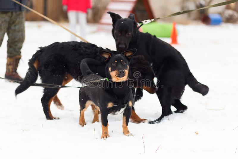 Schwarzer Hund führt ergeben Wintertraining durch stockfotos