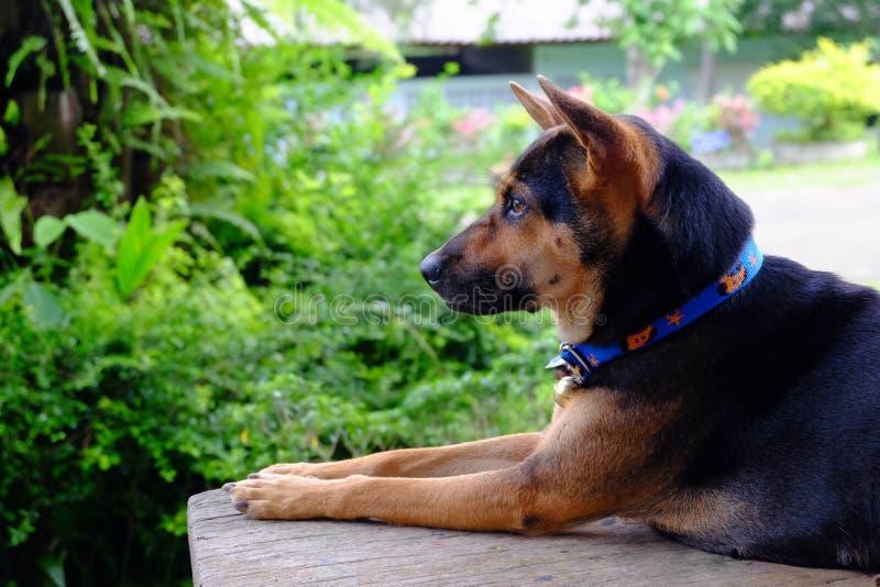 Schwarzer Hund - Gold, das auf dem Tisch Wartung die Eigentümerrückseite sitzt stockfotos