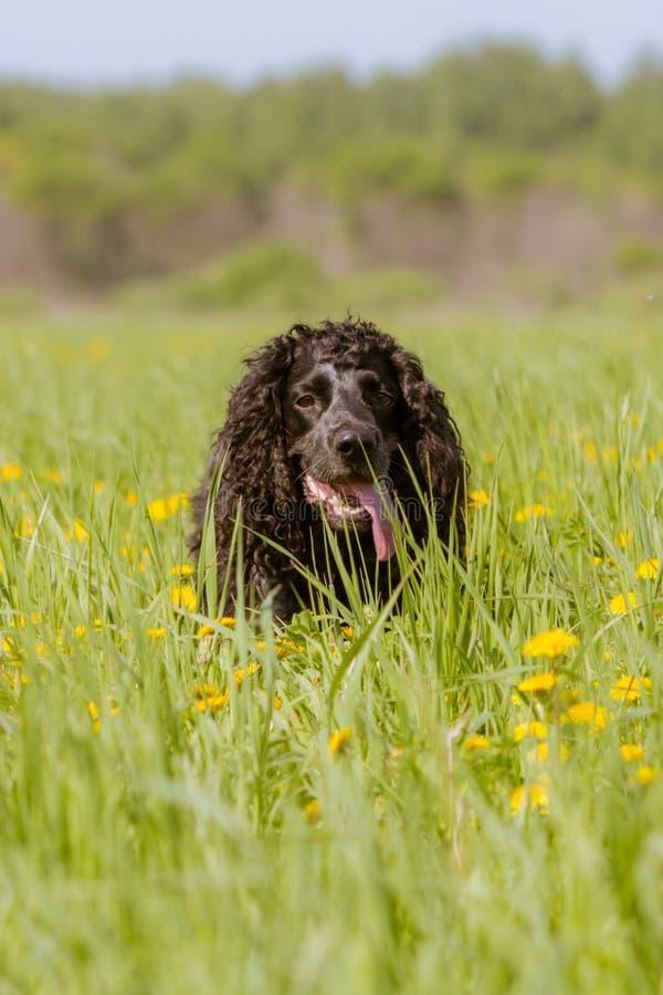 Schwarzer Hund mit den langen Ohren auf einem Gebiet des grünen Grases und des gelben Löwenzahns lizenzfreies stockfoto