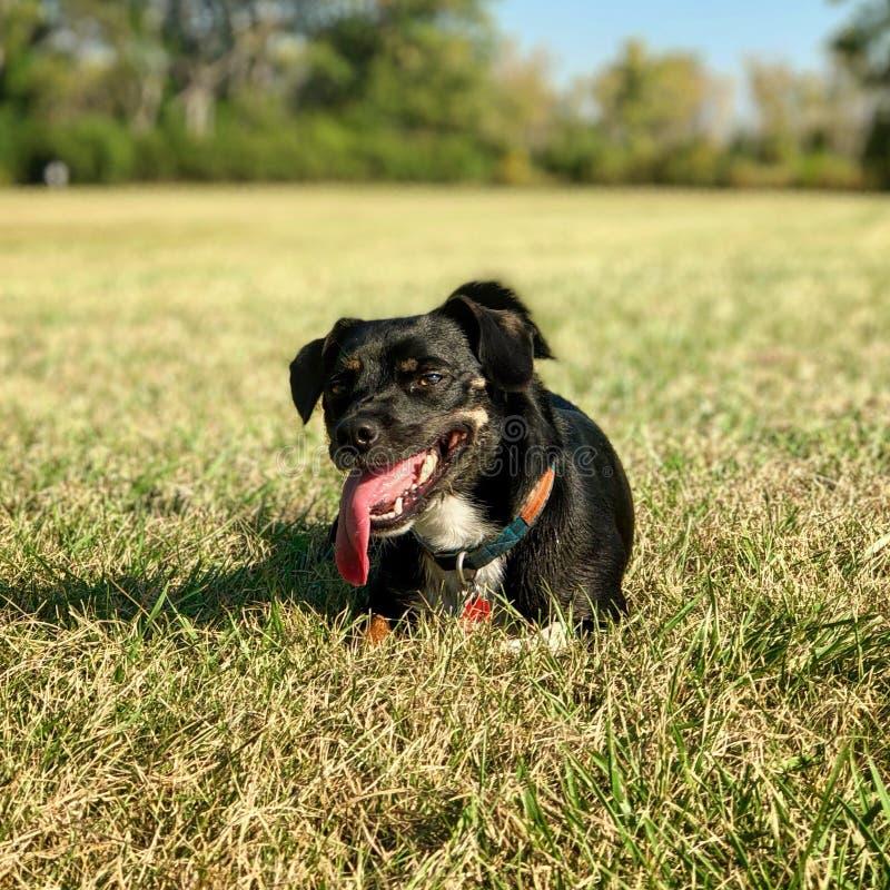 Schwarzer Hund mit der Zunge heraus räkelnd lizenzfreies stockbild