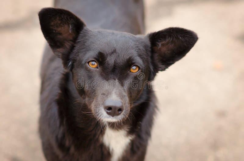 Schwarzer Hund mit einem tiefen Blick lizenzfreies stockbild