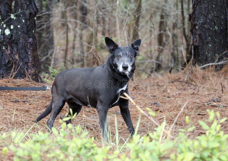 Schwarzer Hund mit grauer Mündung, Schäfer cattledog mischte Zucht lizenzfreie stockbilder
