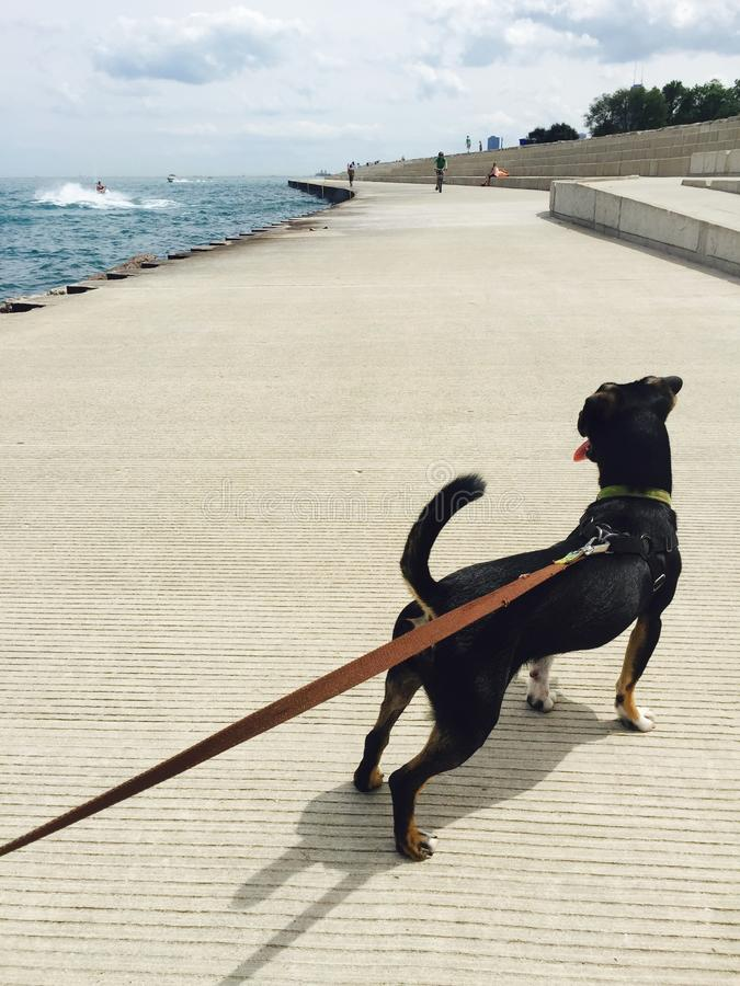 Schwarzer Hund zieht auf Leine auf Michigansee riverwalk stockfotografie