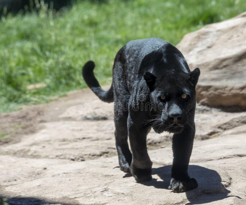 Schwarzer Jaguar oder Panther lizenzfreie stockfotografie