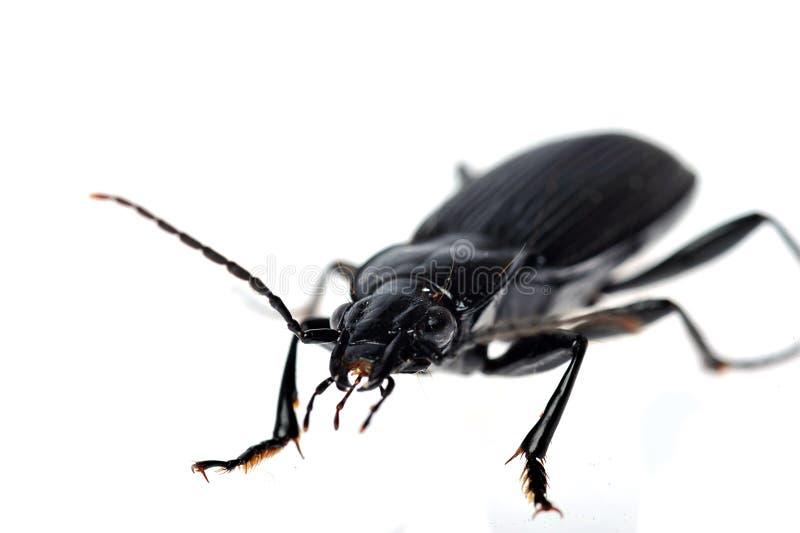 Schwarzer Käfer sehr nah oben lizenzfreie stockbilder