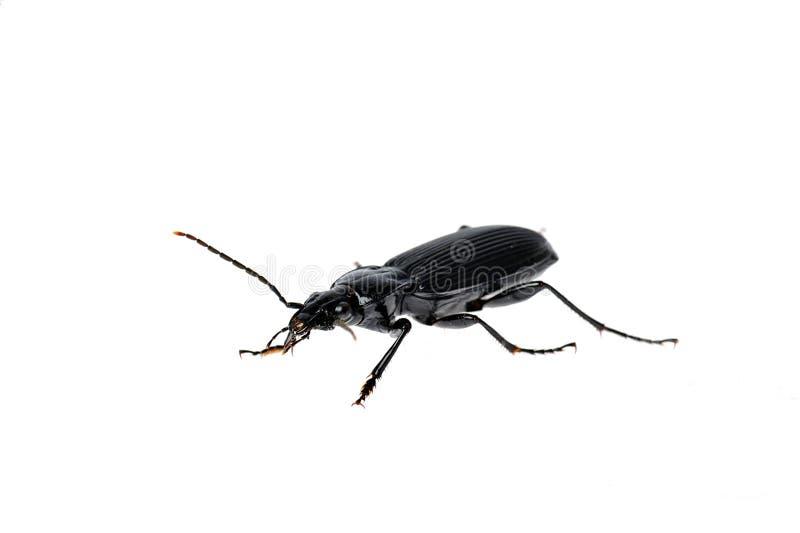 Schwarzer Käfer sehr nah oben stockfoto
