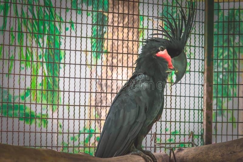 Schwarzer Kakadu im K?fig stockbilder