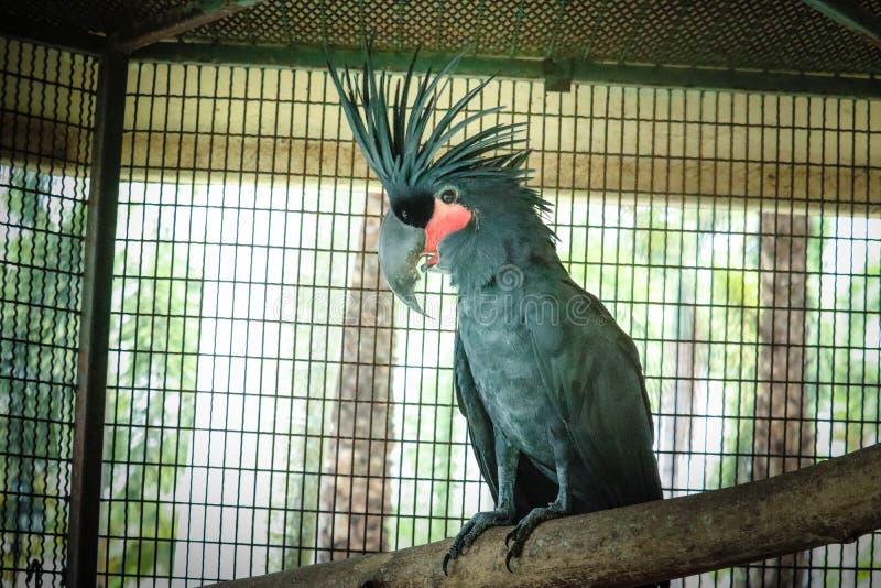 Schwarzer Kakadu im K?fig lizenzfreie stockfotografie