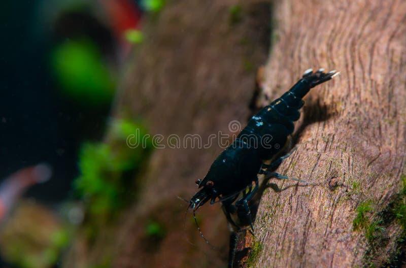 Schwarzer King- Konggarnelenaufenthalt auf Bauholz im Süßwasseraquariumbehälter lizenzfreie stockfotografie