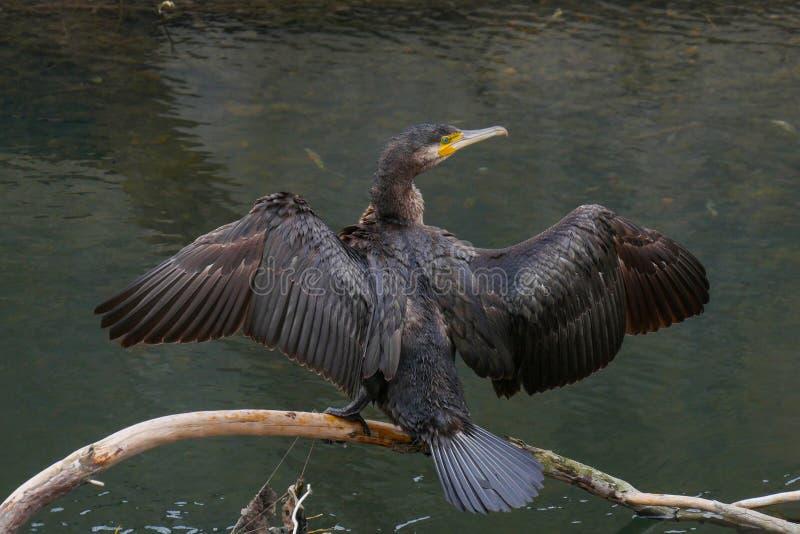 Schwarzer Kormoranvogel, der auf Anmeldungsfluß mit Flügelverbreitung steht lizenzfreies stockbild
