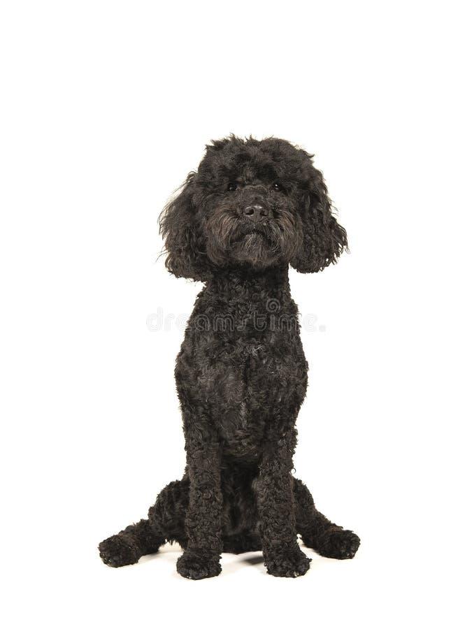Schwarzer labradoodle Hund, der auf einem weißen Hintergrund sitzt stockfoto