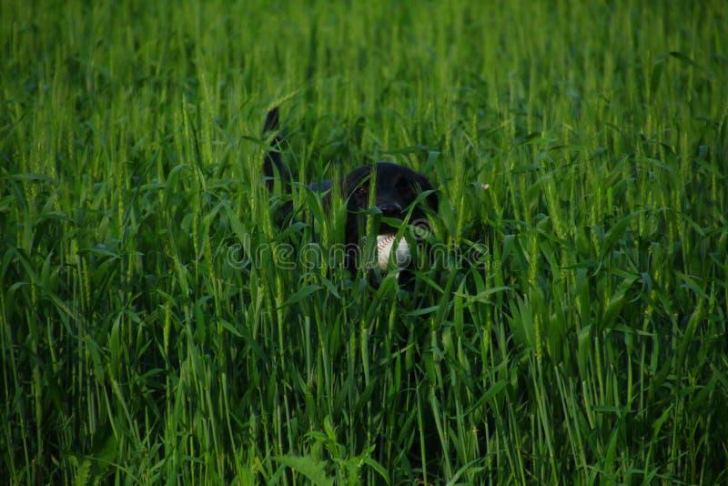 Schwarzer Labrador-Apportierhund lizenzfreies stockbild