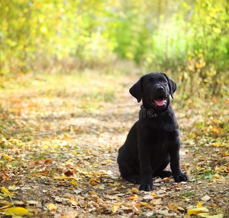 Schwarzer Labrador-Apportierhundwelpe lizenzfreie stockfotos