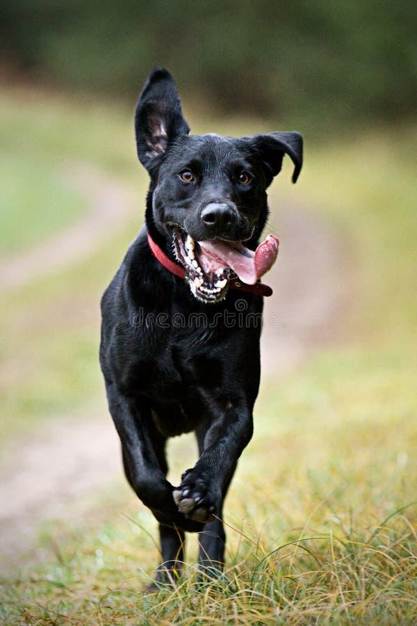 Schwarzer Labrador-Betrieb lizenzfreie stockbilder