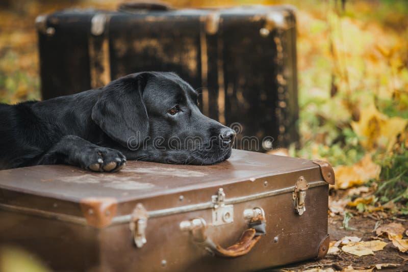 Schwarzer Labrador-Herbst in der Natur, Weinlese stockbilder