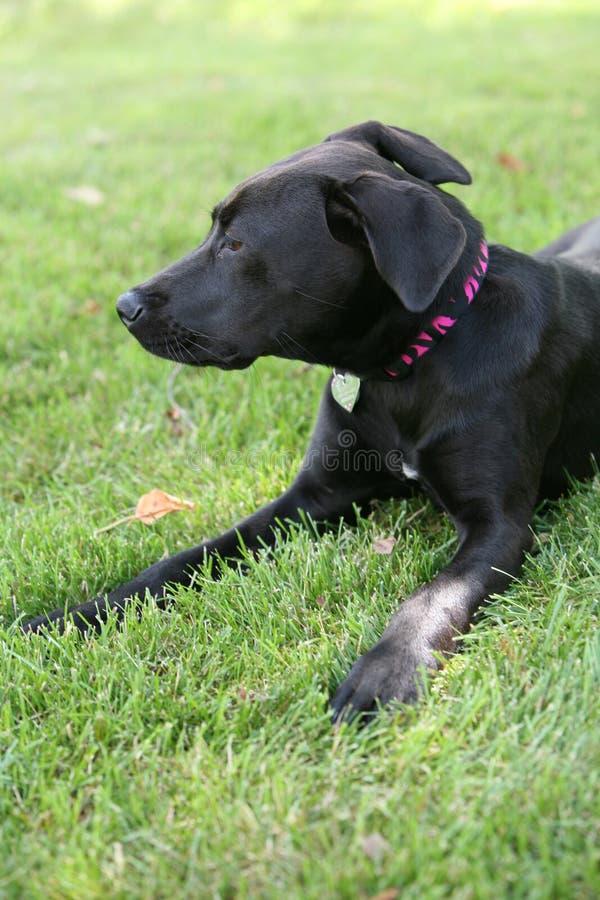 Schwarzer Labrador-Hund auf Gras stockfoto