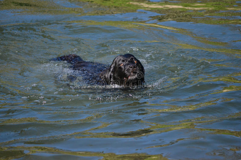 Schwarzer Labrador-Hund mit braunen Augen schwimmend lizenzfreies stockfoto