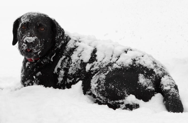 Schwarzer Labrador-Hundeschnee abgedeckt stockbild