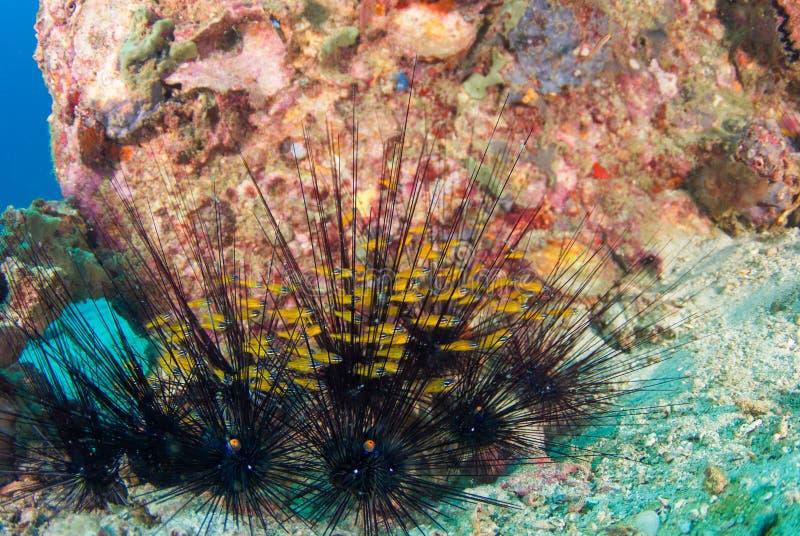Schwarzer langer Dornbengel am Korallenriff lizenzfreies stockfoto
