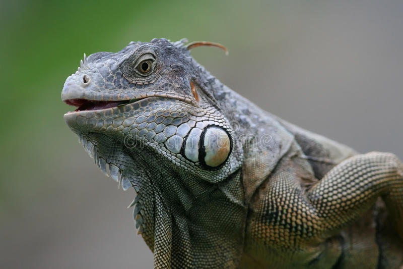 Schwarzer Leguan stockfoto