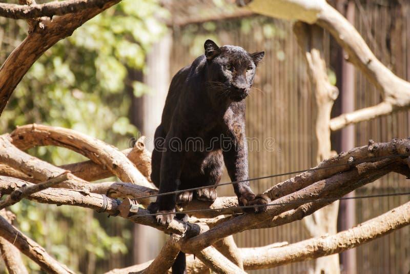 Schwarzer Leopard stockbilder