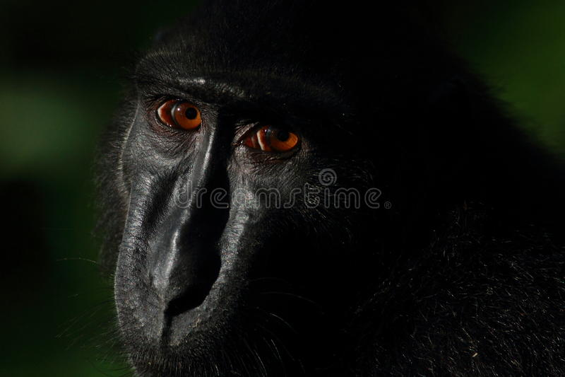 Schwarzer Makaken Sulawesis mit Haube, Tangkoko-Naturreservat lizenzfreie stockbilder