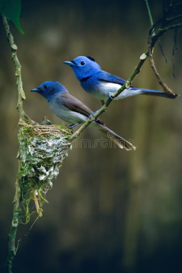Schwarzer-naped Monarchvogel lizenzfreie stockfotografie